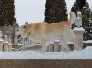 Hanni, a lab and goldren retriever cross, walking on a snowy platform.